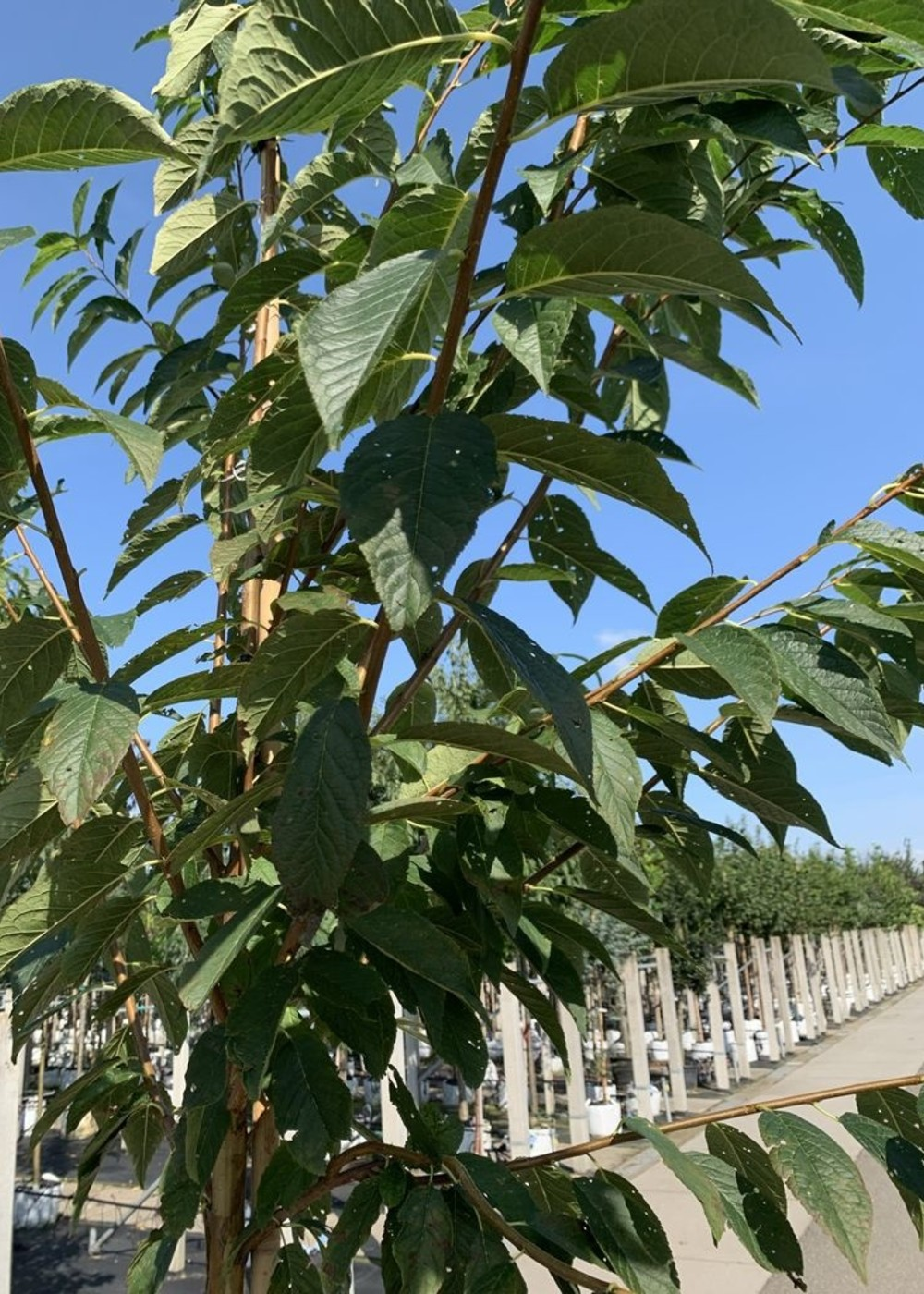 Wildkirschenbaum   Prunus maackii