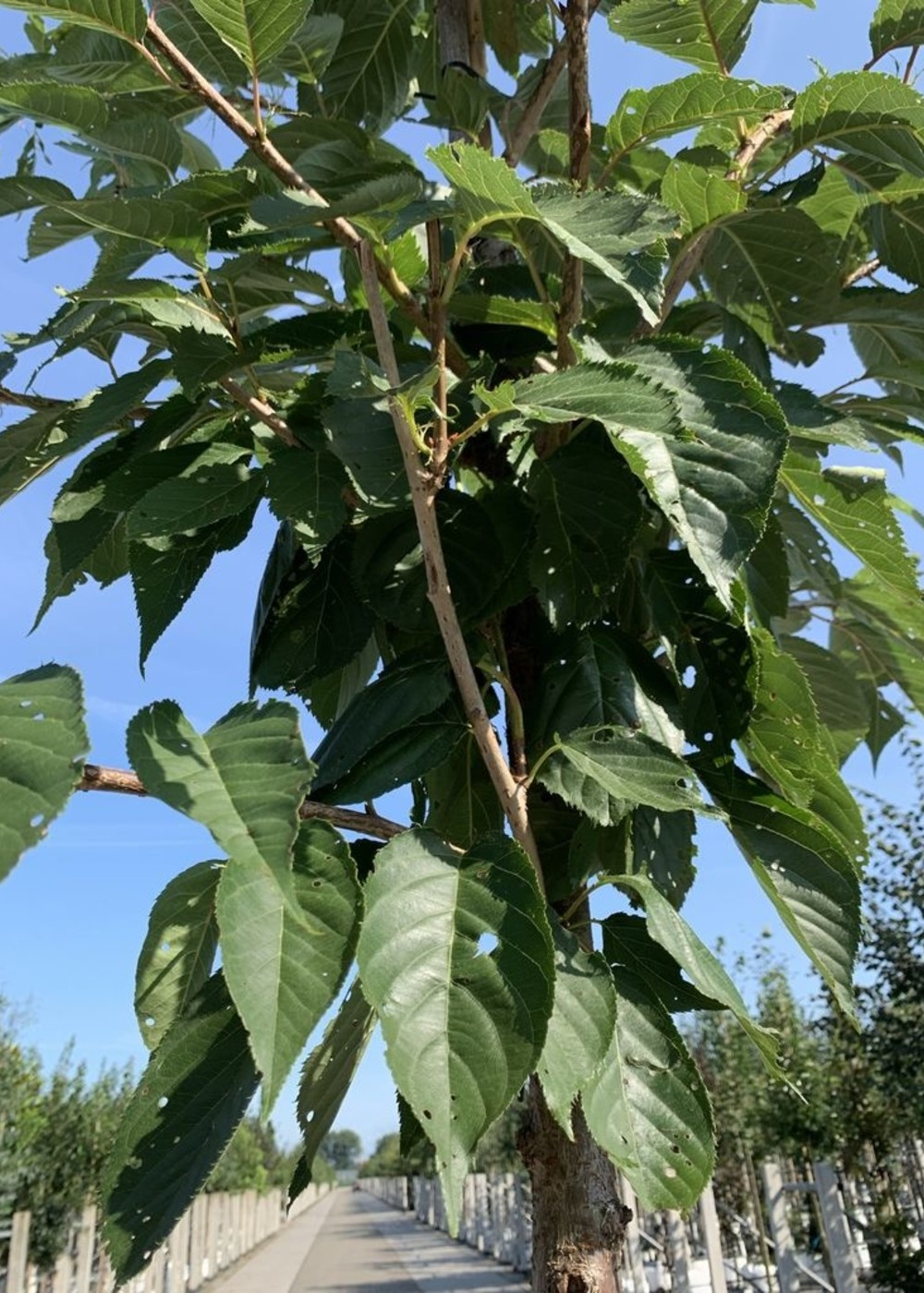 Weiße Zierkirsche   Prunus serrulata 'Taihaku'