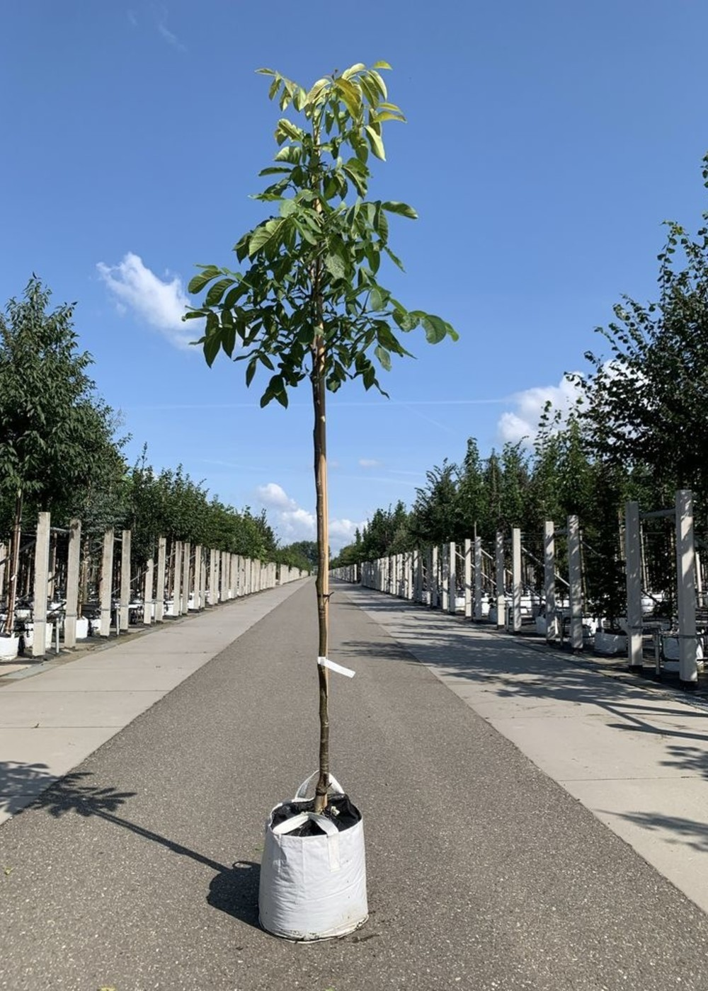 Walnussbaum Plovdivski | Juglans regia Plovdiski