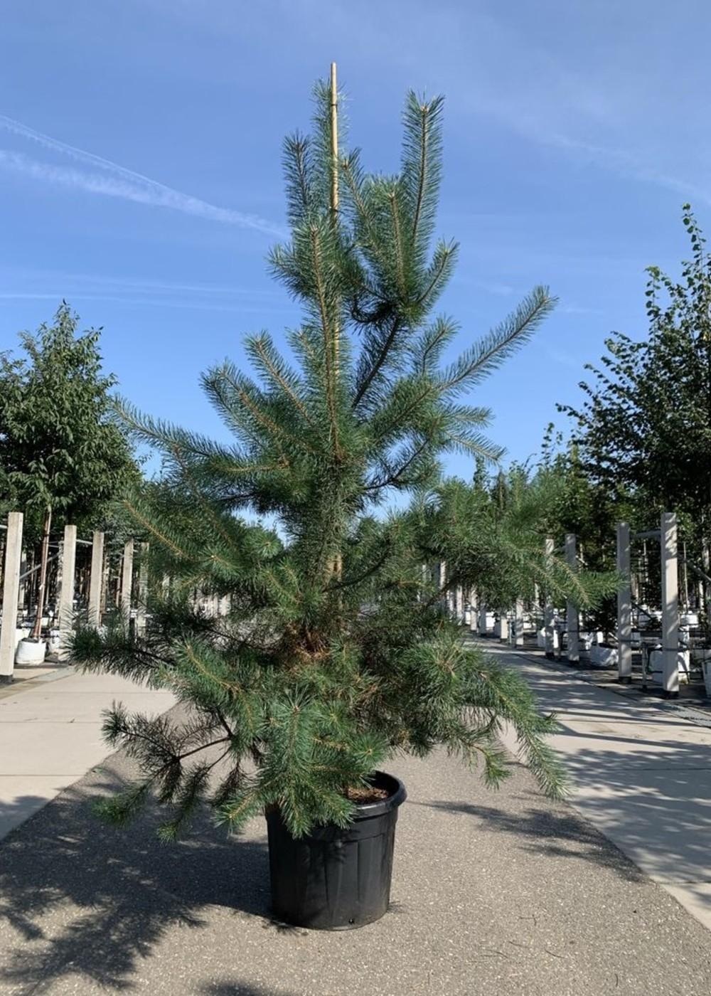 Waldkiefer | Pinus sylvestris