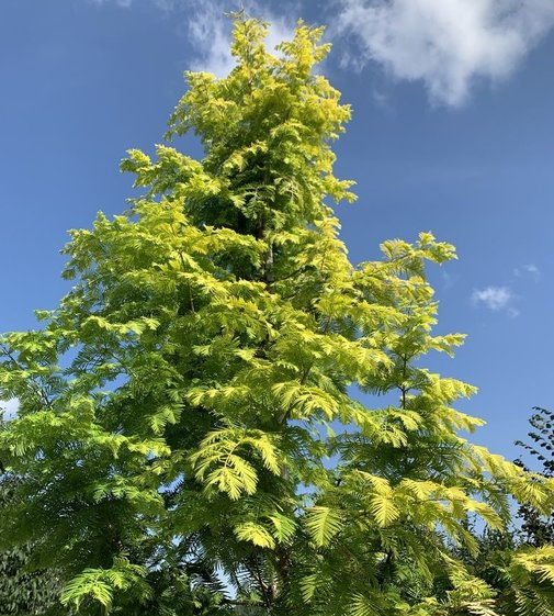 Urwelt-Mammutbaum Gold Rush | Metasequoia glyptostroboides  'Gold Rush'