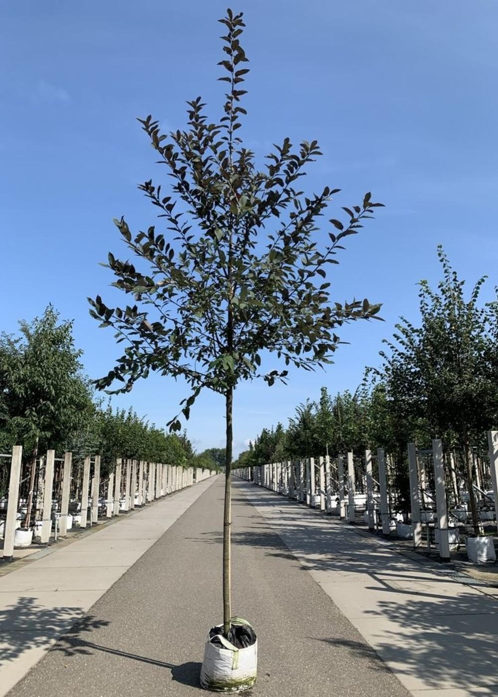 Traubenkirsche Colorata | Prunus padus 'Colorata'