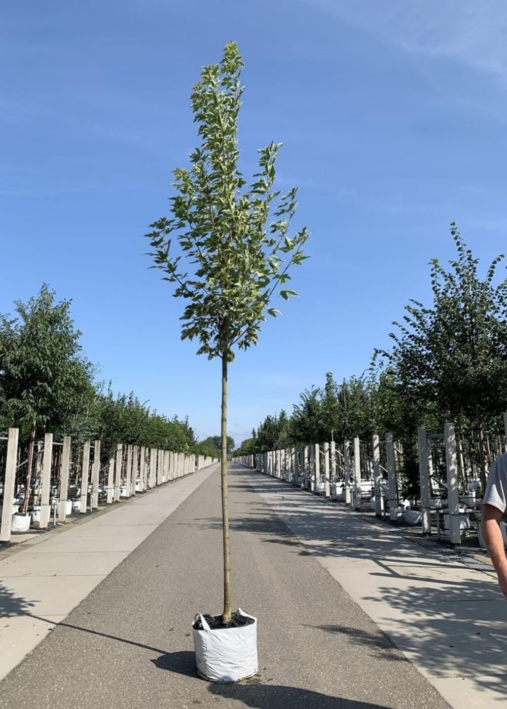 Spitzahorn Drummondii   Acer platanoids 'Drummondii'