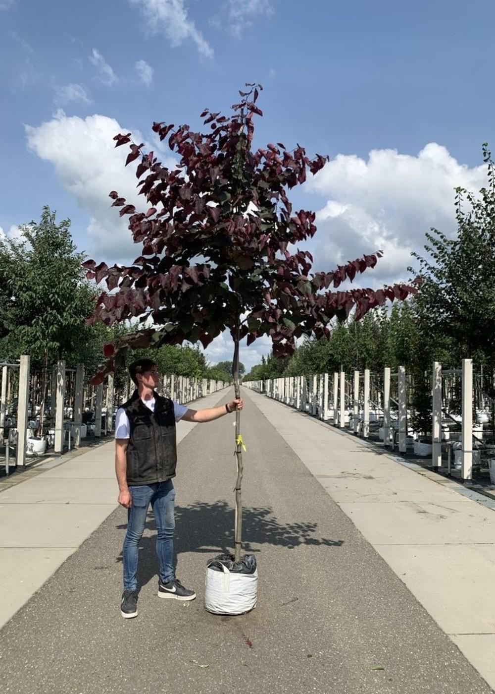 Amerikanischer Judasbaum Forest Pansy   Cercis canadensis 'Forest Pansy'
