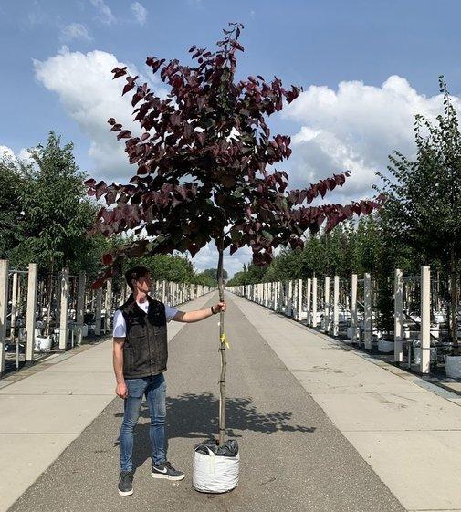 Amerikanischer Judasbaum Forest Pansy | Cercis canadensis 'Forest Pansy'