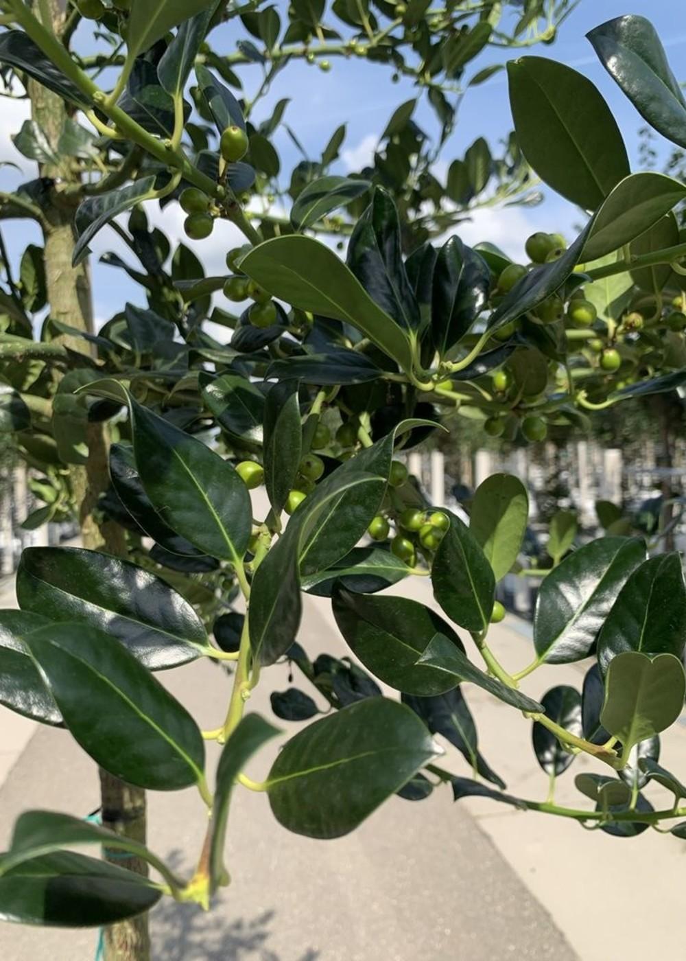 Alaska-Stechpalme Bonsai-Formschnitt   Ilex aquifolium 'Alaska'