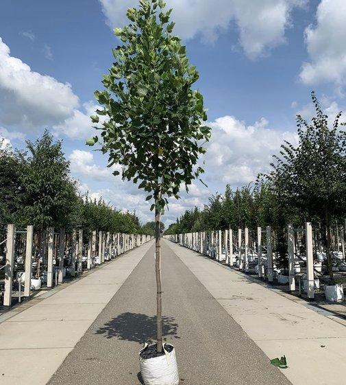 Goldgelber Tulpenbaum   Liriodendron tulipifera 'Aureomarginatum'