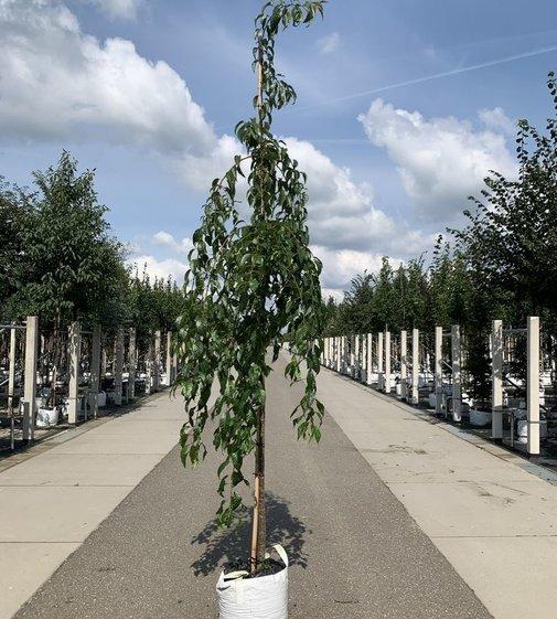 Hängende Nelkenkirsche Kiku-shidare-zakura | Prunus serrulata  'Kiku-shidare'