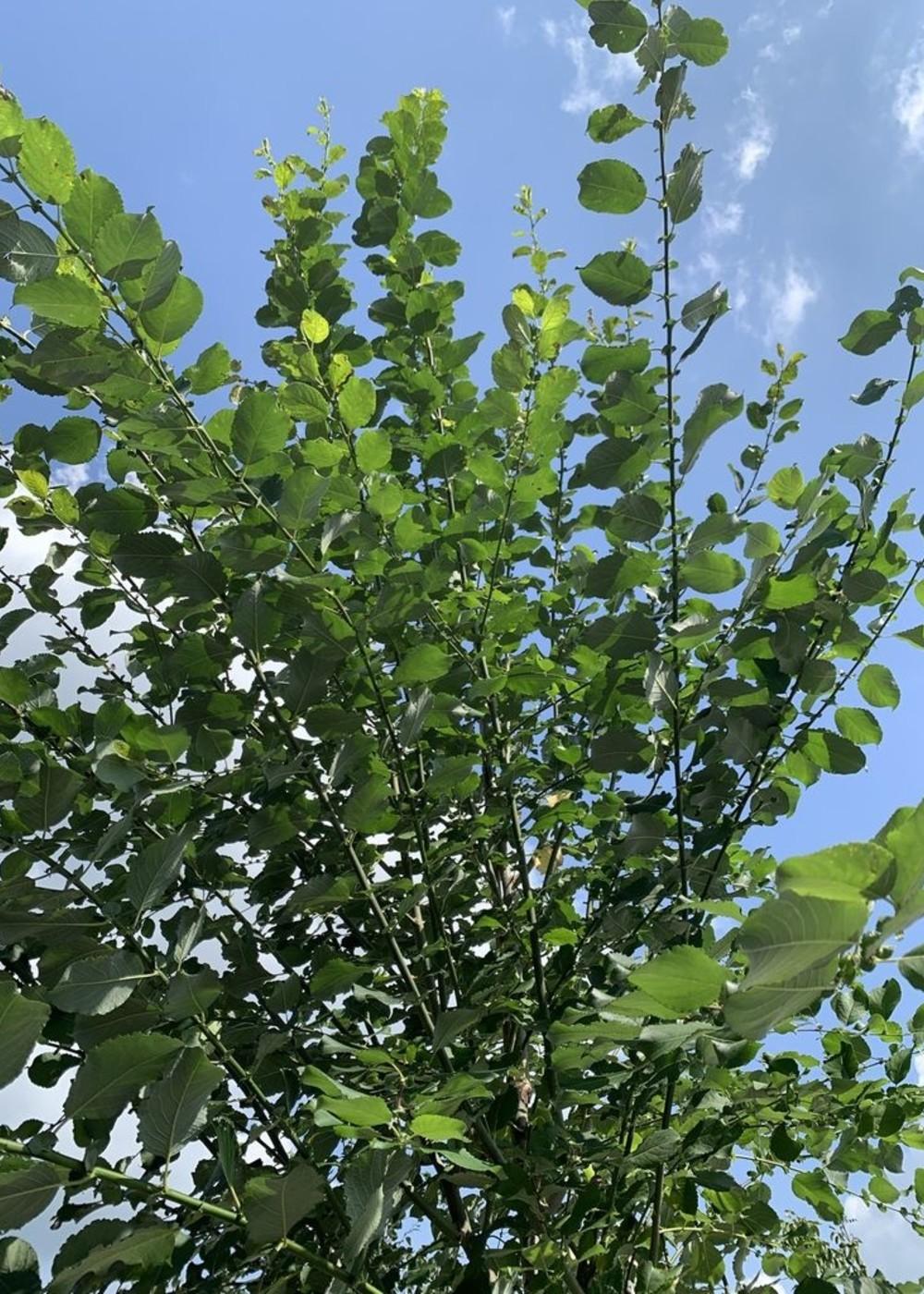 Salweide | Salix caprea