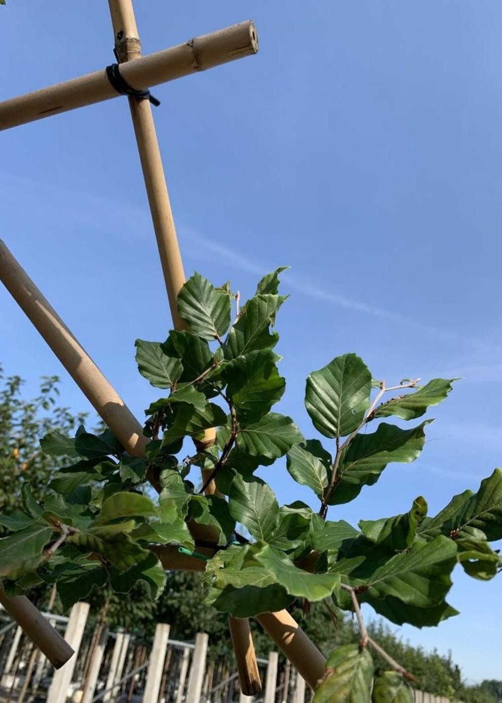 Rotbuche Spalierbaum | Fagus sylvatica Spalierbaum