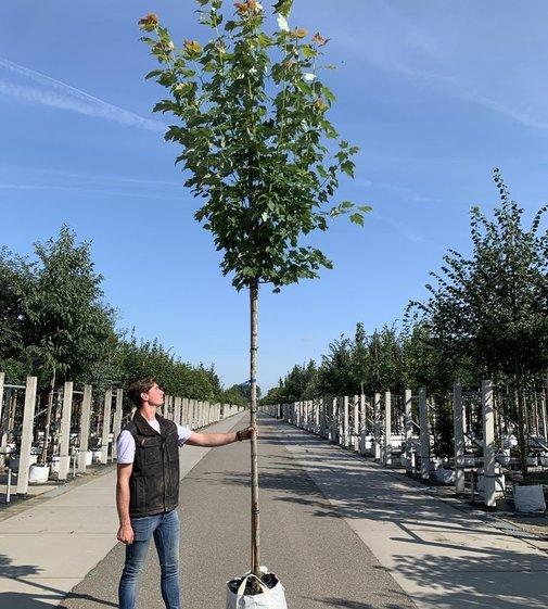 Rotahorn Scanlon | Acer rubrum 'Scanlon'