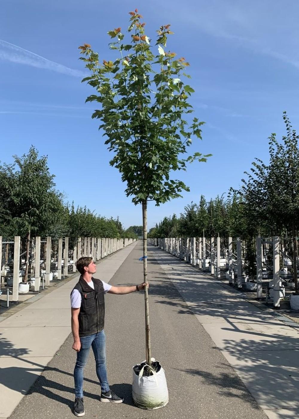Rotahorn Scanlon   Acer rubrum 'Scanlon'