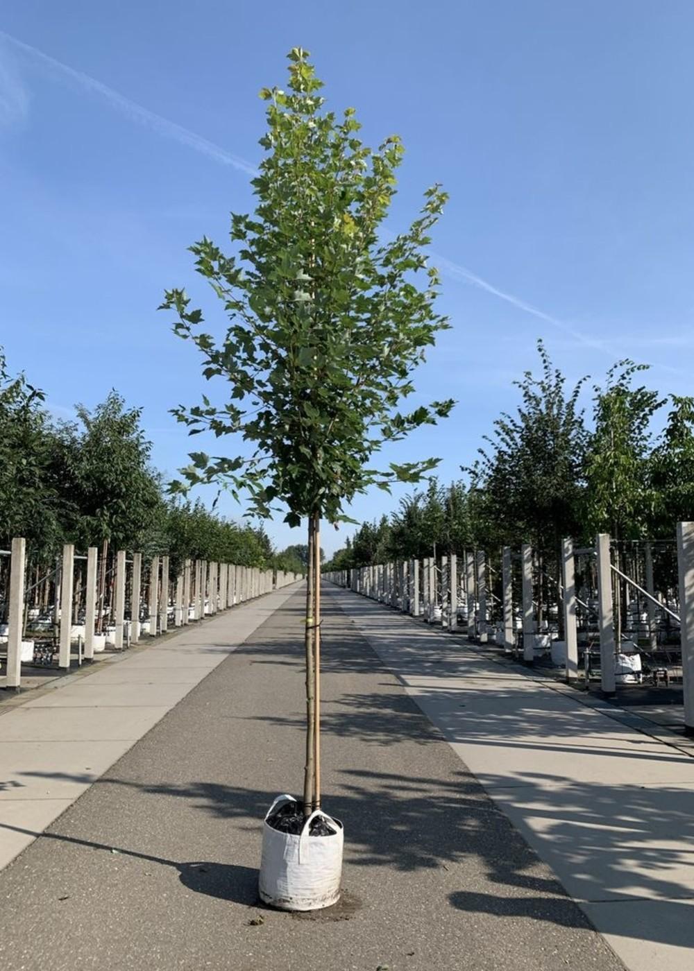 Rotahorn Karpick | Acer rubrum 'Karpick'