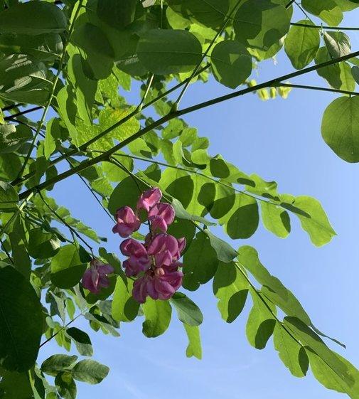 Robinie Pink Cascade | Robinia margaretta Pink Cascade