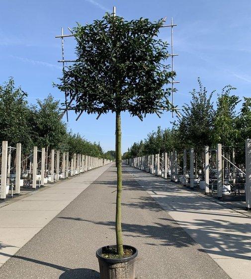 Portugiesischer Kirschlorbeer Spalierbaum | Prunus lusitanica Spalierbaum
