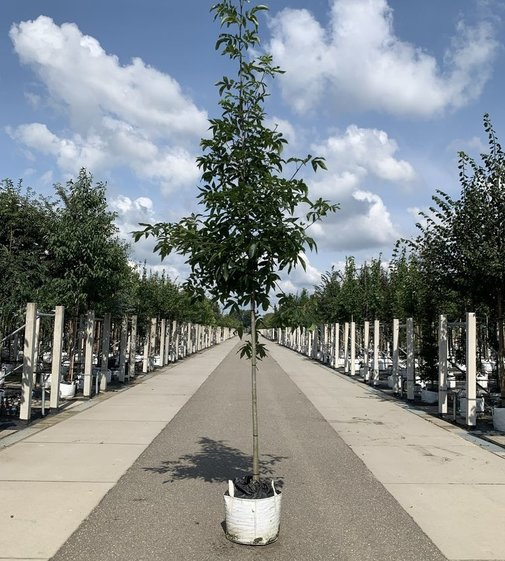 Pekannussbaum   Carya illinoinensis