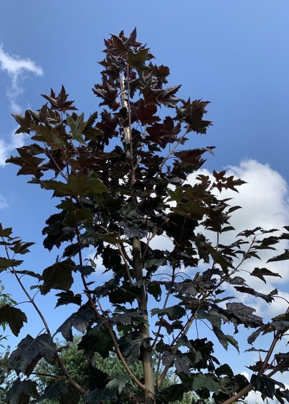 Oregon-Blutahorn Royal Red   Acer plat 'Royal Red'