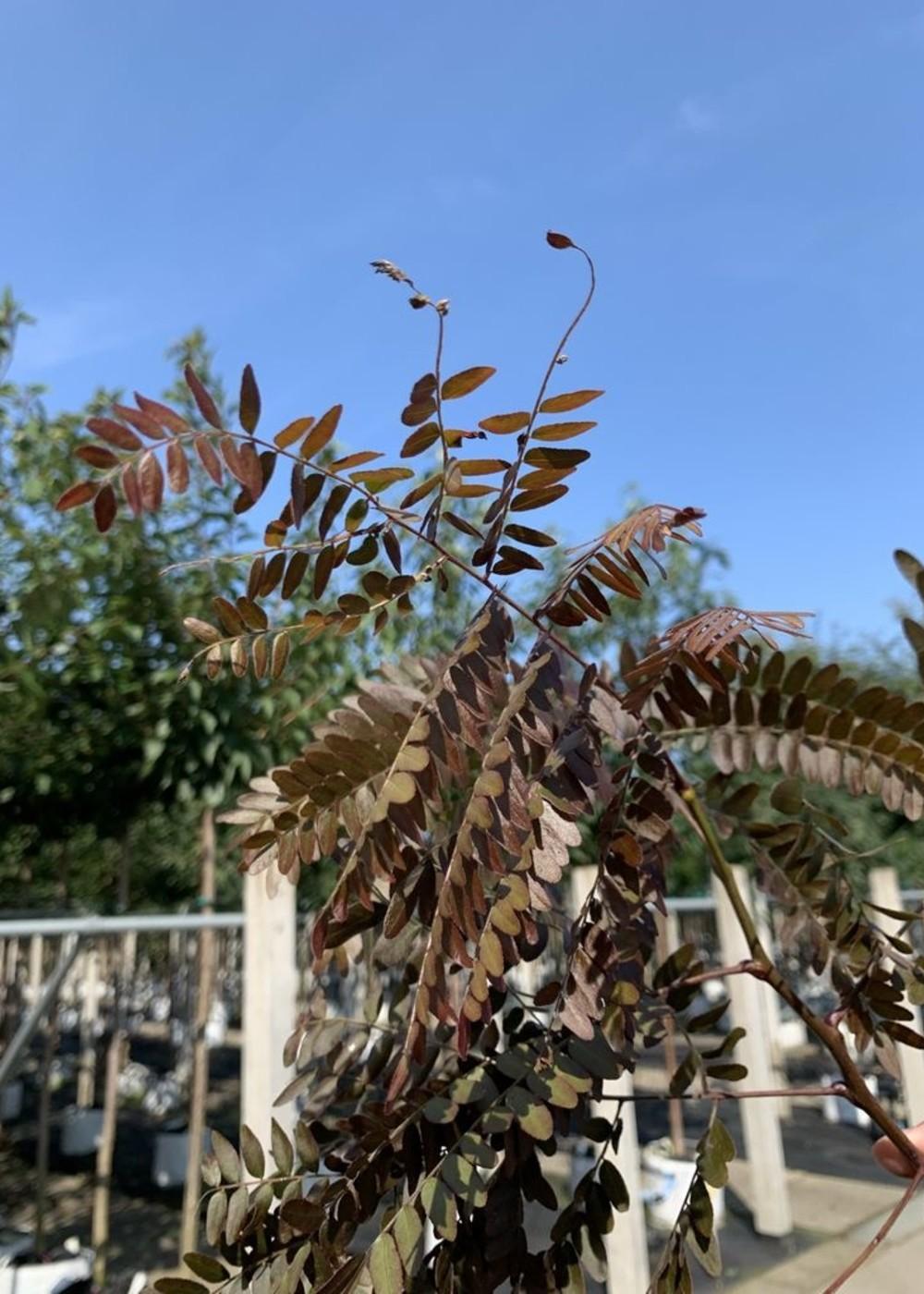 Lederhülsenbaum Rubylace | Gleditsia triacanthos 'Rubylace'
