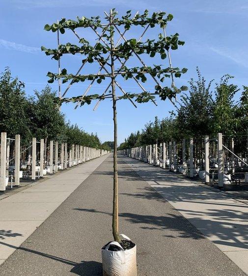 Krim-Linde Spalierbaum | Tilia europaea 'Euchlora' Spalierbaum