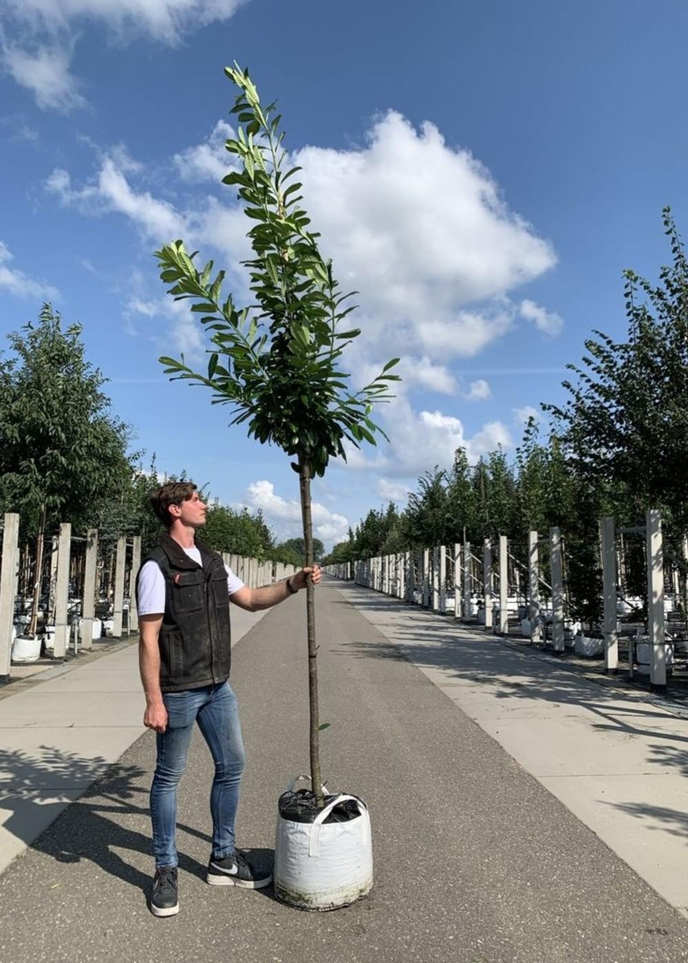 Kirschlorbeer Genolia | Prunus laurocerasus  'Genolia'