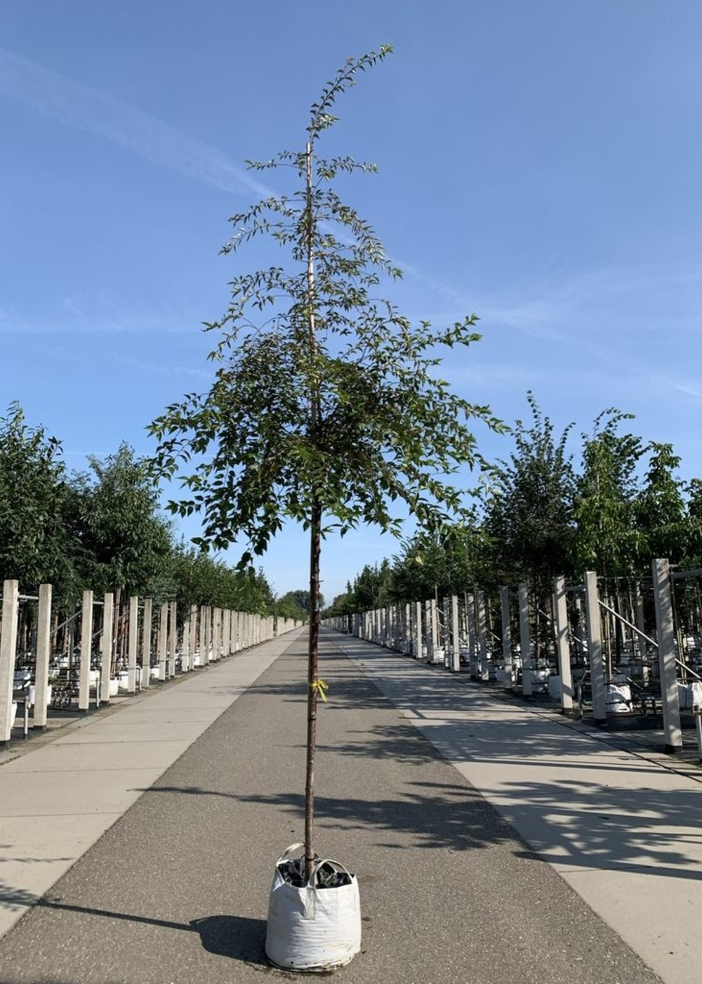 Kirsche Okame | Prunus 'Okame'