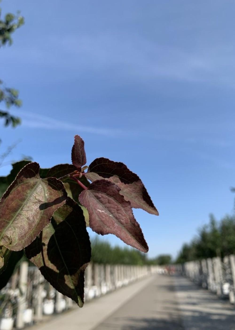 Katsurabaum Rotfuchs | Cercidiphyllum japonicum 'Rotfuchs'