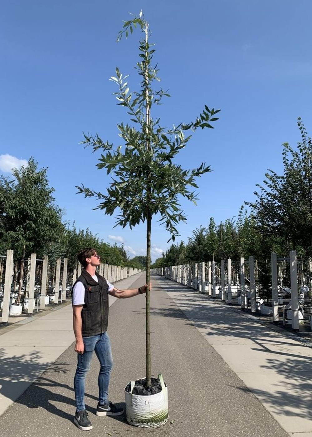 Kastanienblättrige Eiche Green Spire   Quercus castaneifolia 'Green Spire'