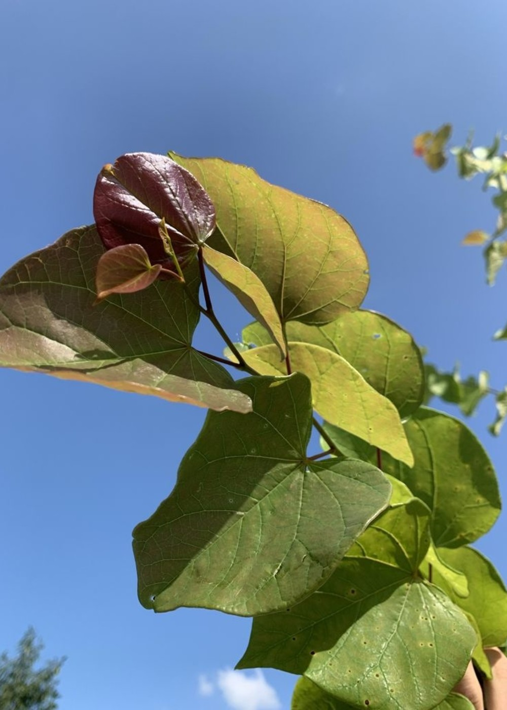 Judasbaum Avondale   Cercis chinensis 'Avondale'
