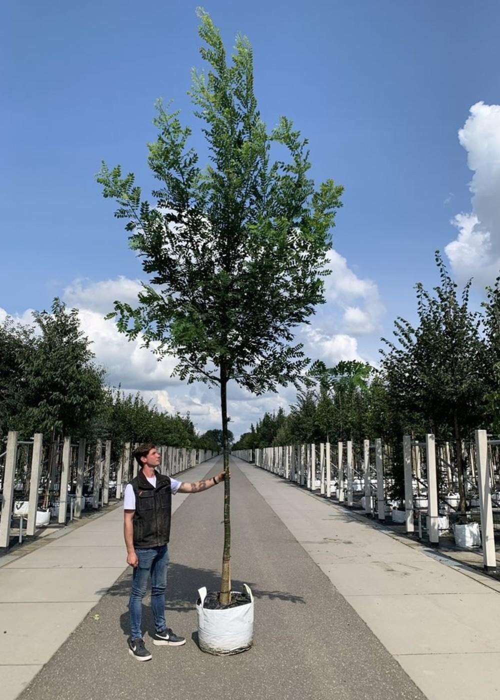 Japanischer Schnurbaum   Styphnolobium jap. 'Regent'