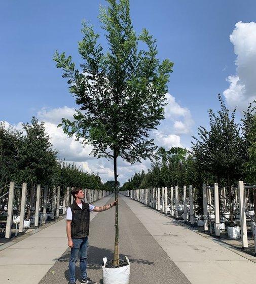 Japanischer Schnurbaum Regent   Styphnolobium japonicum 'Regent'