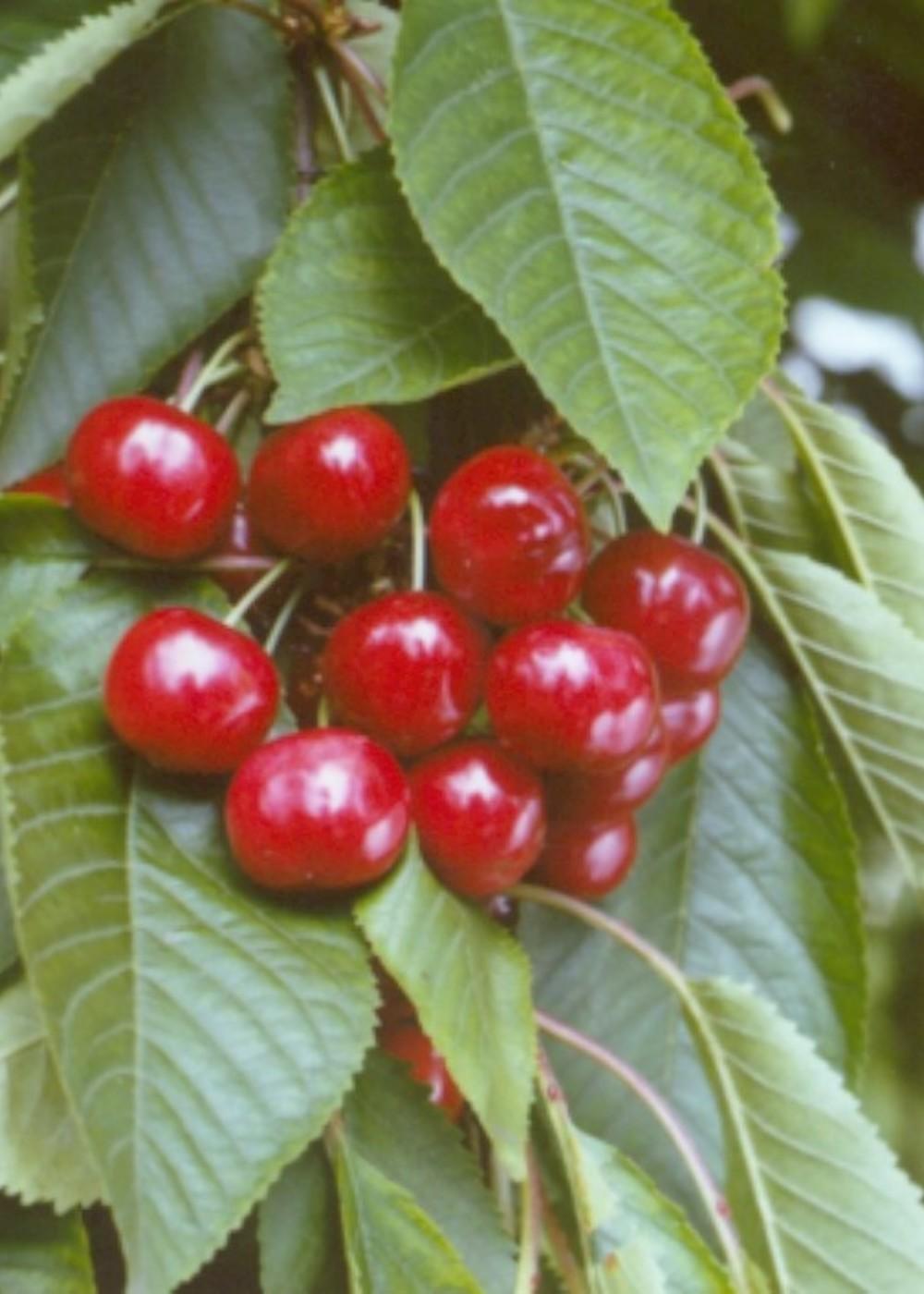 Süßkirsche Stella   Prunus avium 'Stella'
