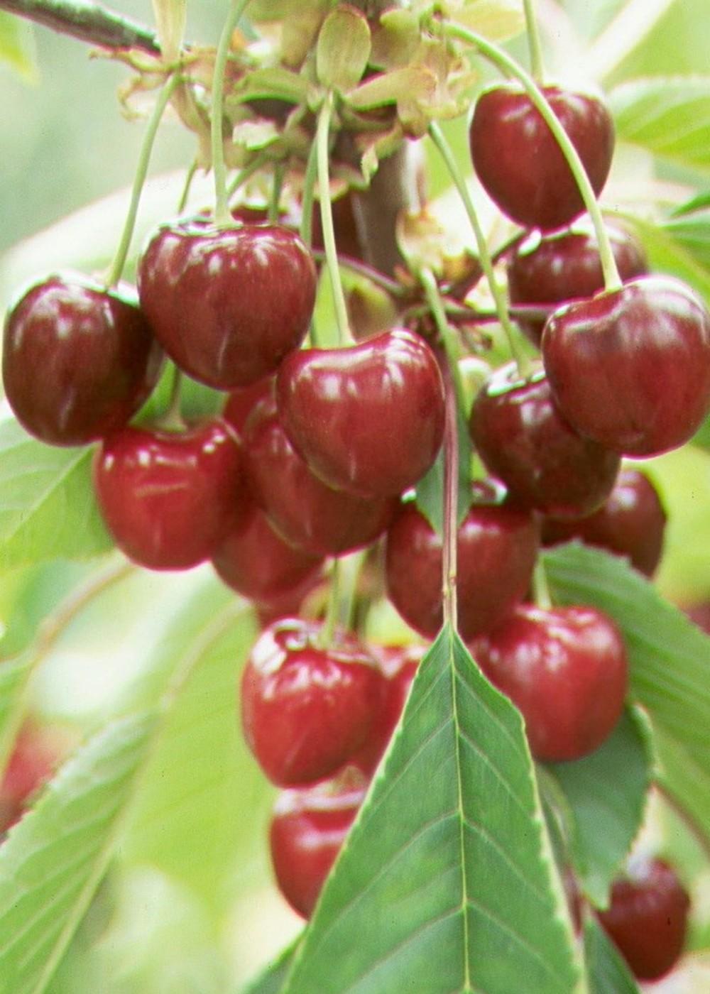 Vogelkirsche Süßkirsche Van | Prunus avium Van