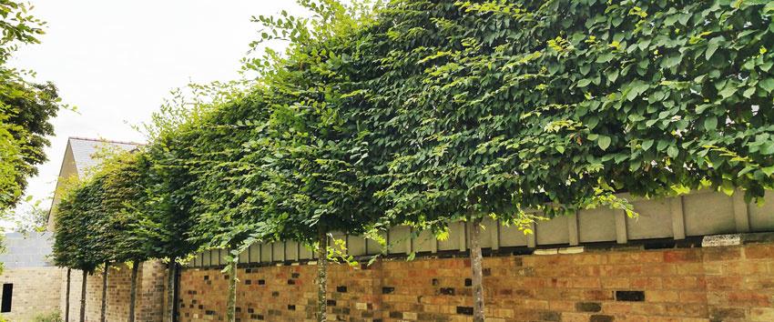 Sichtschutz-Spalierbäume
