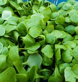 Winterpostelein (vitaminebom)   Inclusief Recept   Per doos (De Groene Schuur)