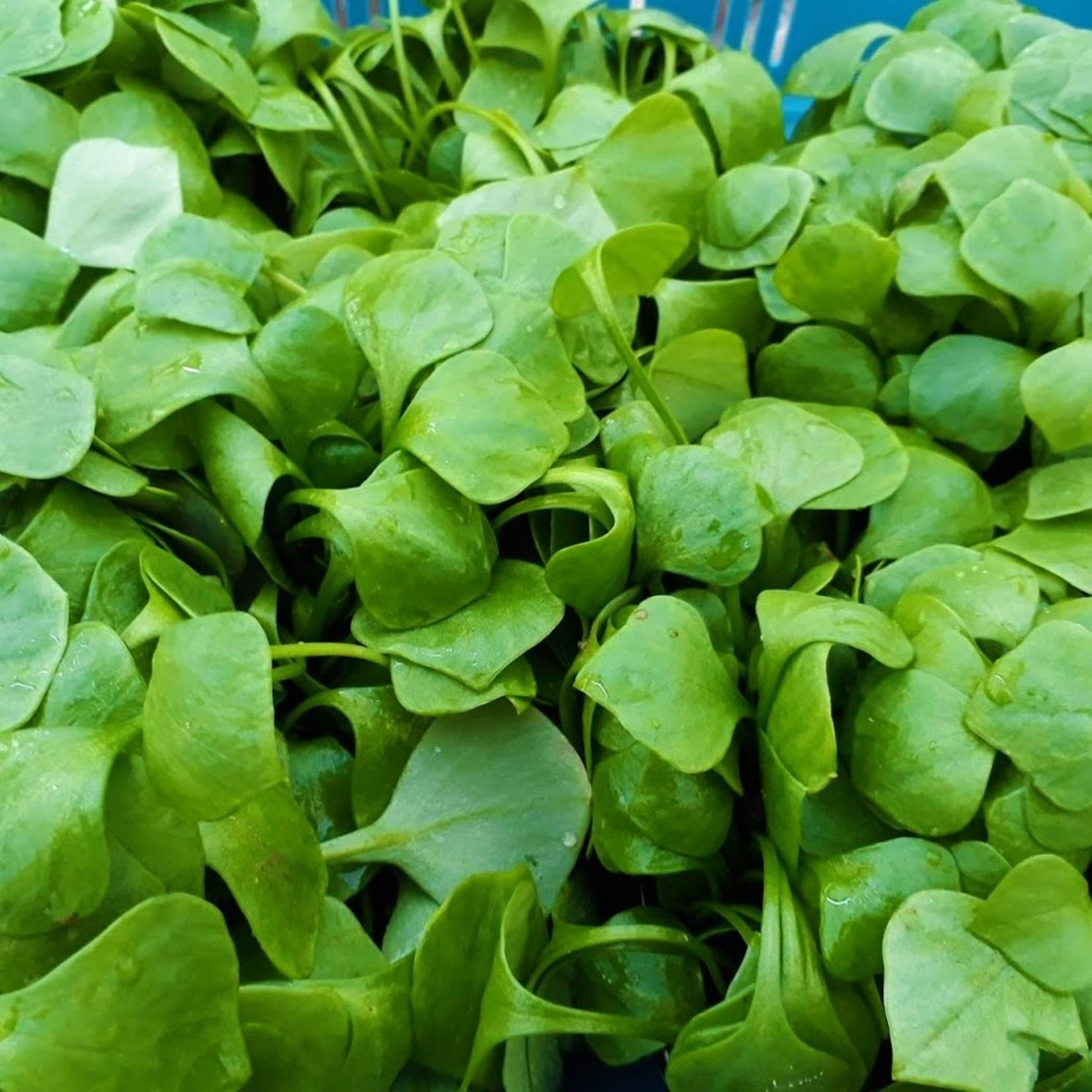 Winterpostelein (vitaminebom) | Inclusief Recept | Per doos (De Groene Schuur)