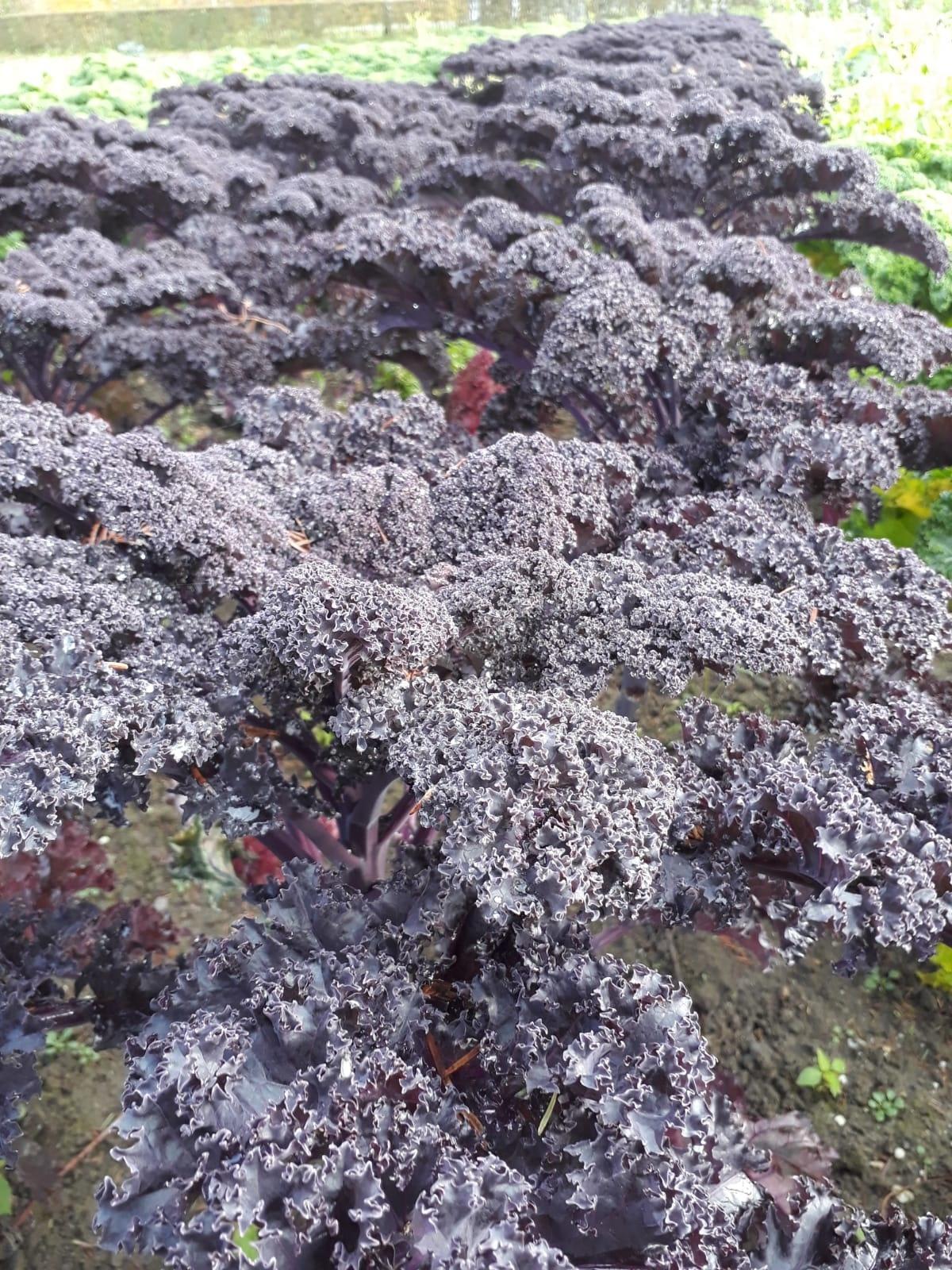 Boerenkool paars | Per stuk (De Groene Schuur)