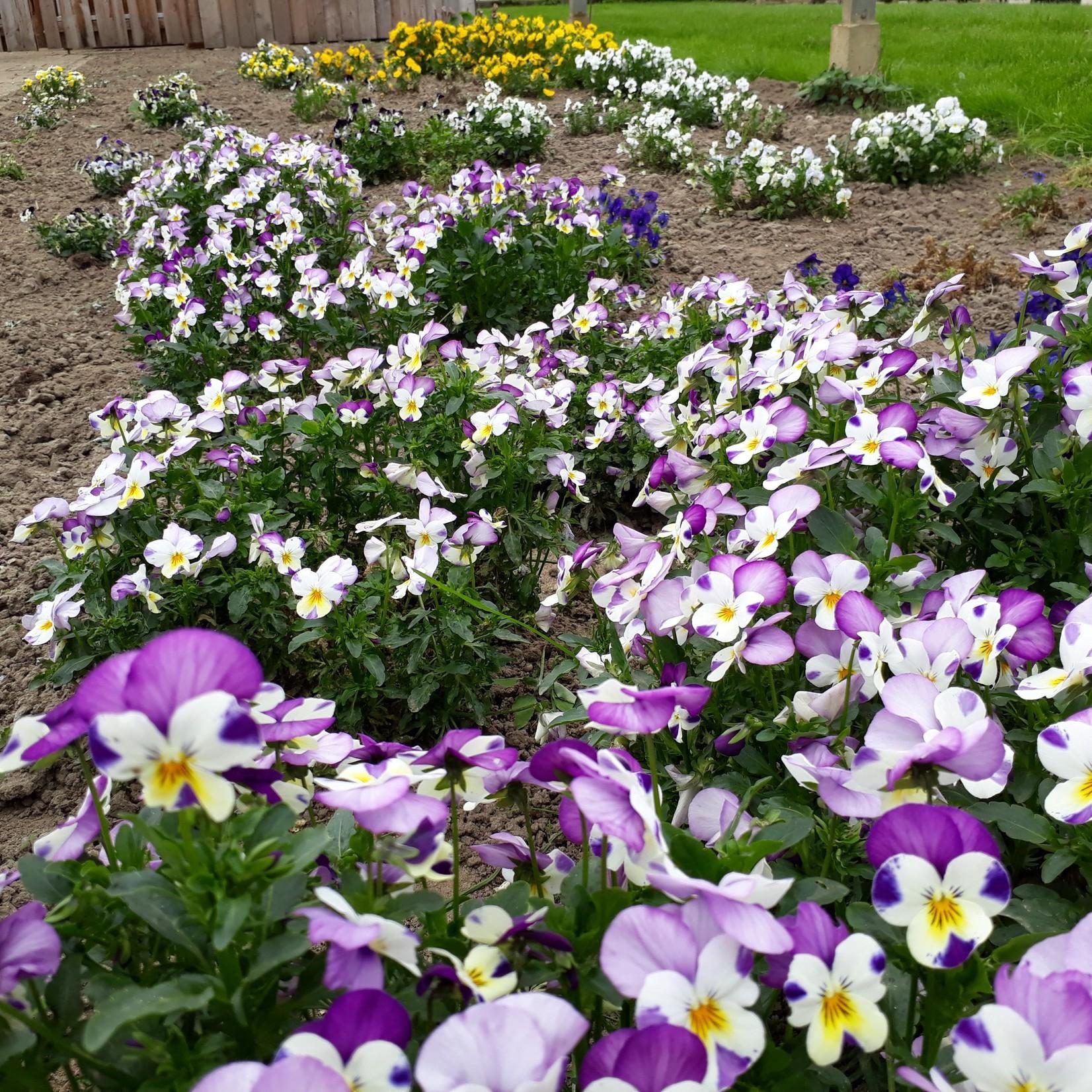 Eetbare viooltjes | per doosje (de Groene Schuur)