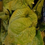 Poi (Wilde spinazie) incl. recept | 500gr (de Groene Schuur)