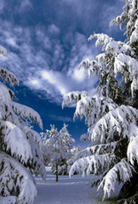 Waxmelt Snowy Pinetree 15 gram