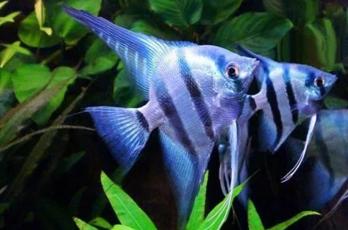 Maanvissen