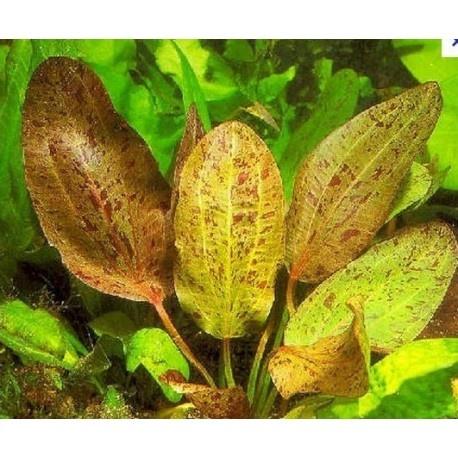Echinodorus (zwaardplanten) Mix
