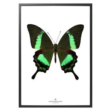 Hagedornhagen Poster S17 groene vlinder Papilio Daedalus