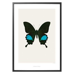 Hagedornhagen Poster S2 vlinder Papilio paris gedeensis
