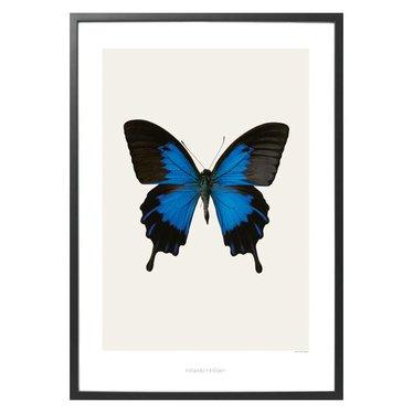 Hagedornhagen Poster S1 Papilio ulysses telegonus (42x59)
