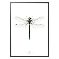 Hagedornhagen Poster B7 Dragonfly
