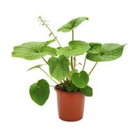 Dutch Wasabi® Plant