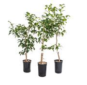 Dutch Wasabi Yuzu tree large