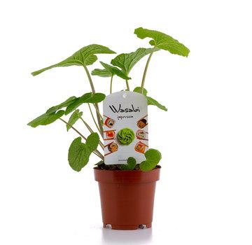 Dutch Wasabi Dutch Wasabi® Plant 12cm
