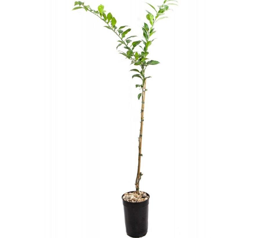 Yuzu boom groot