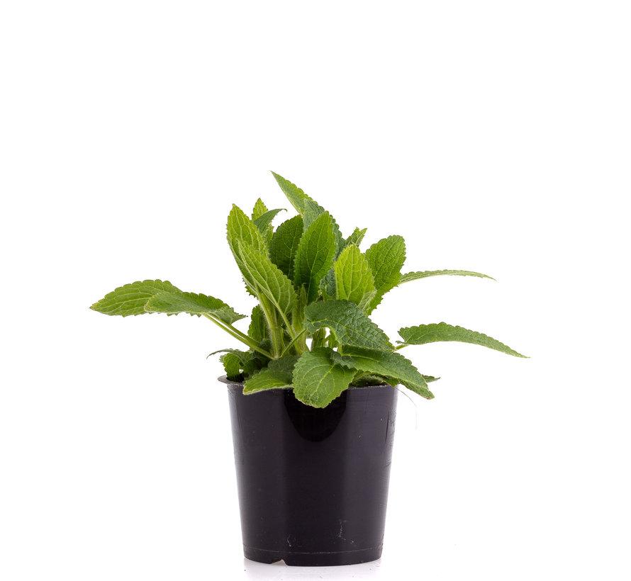 Crosne, Japanse Andoorn plant
